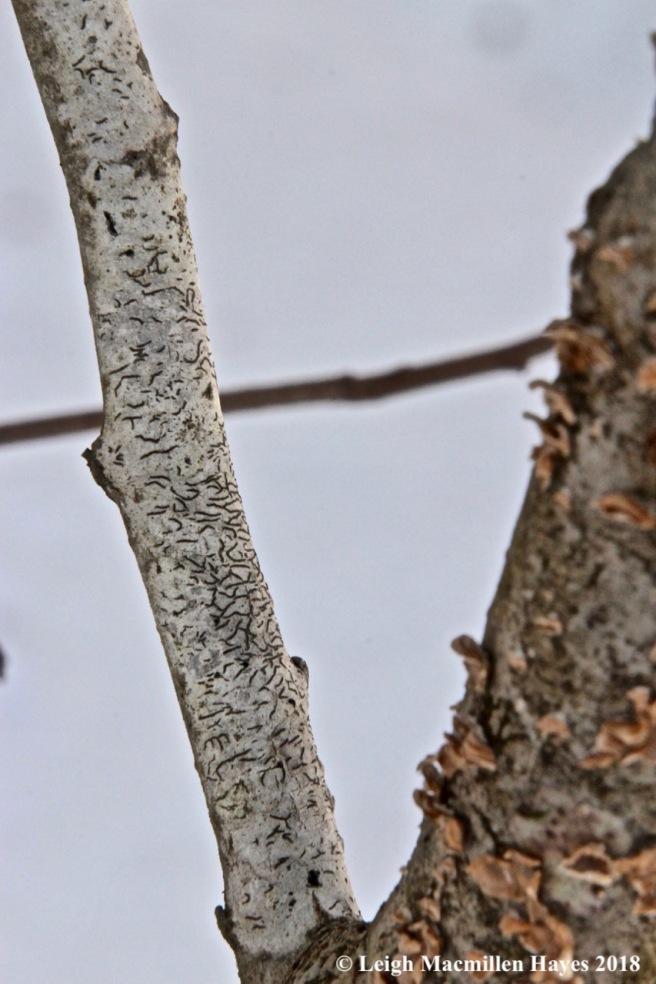 w-script lichen
