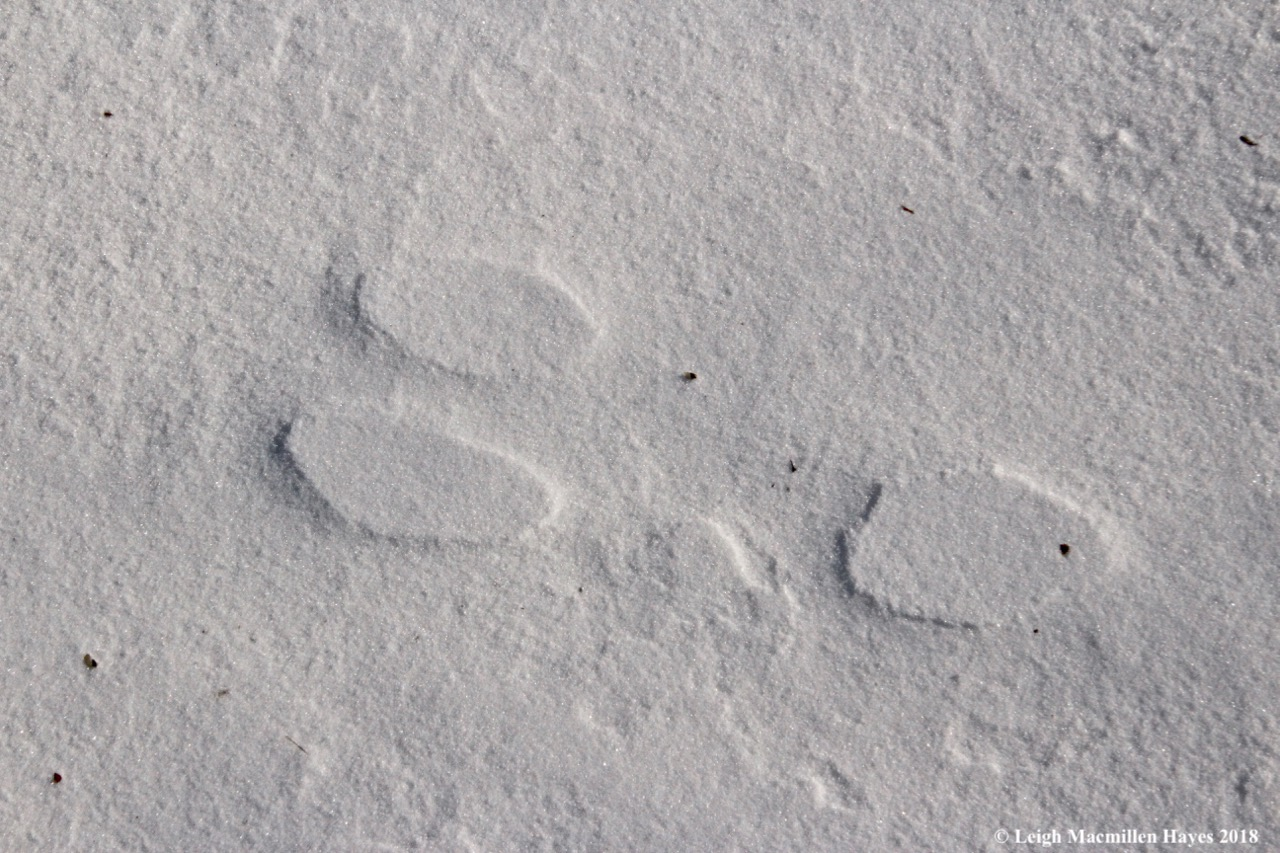 w-snowshoe hare print