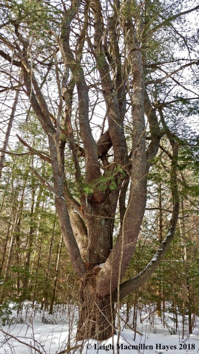 w-white pine at LELT