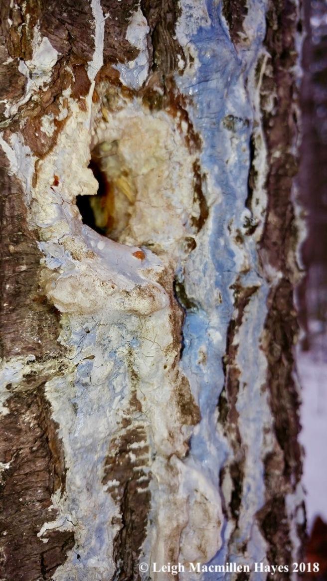 w-white pine blue sap