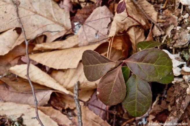w-wintergreen