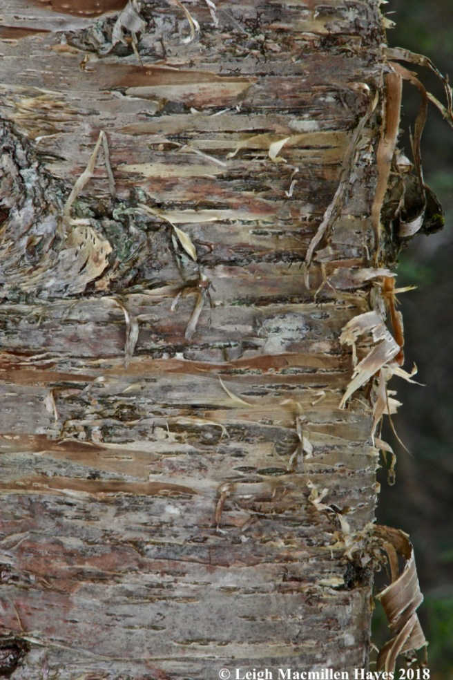 w-yellow birch bark