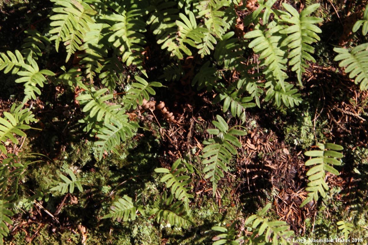 a34-polypody fern