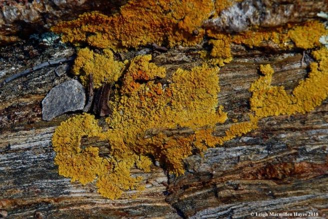 a34-starburst lichen