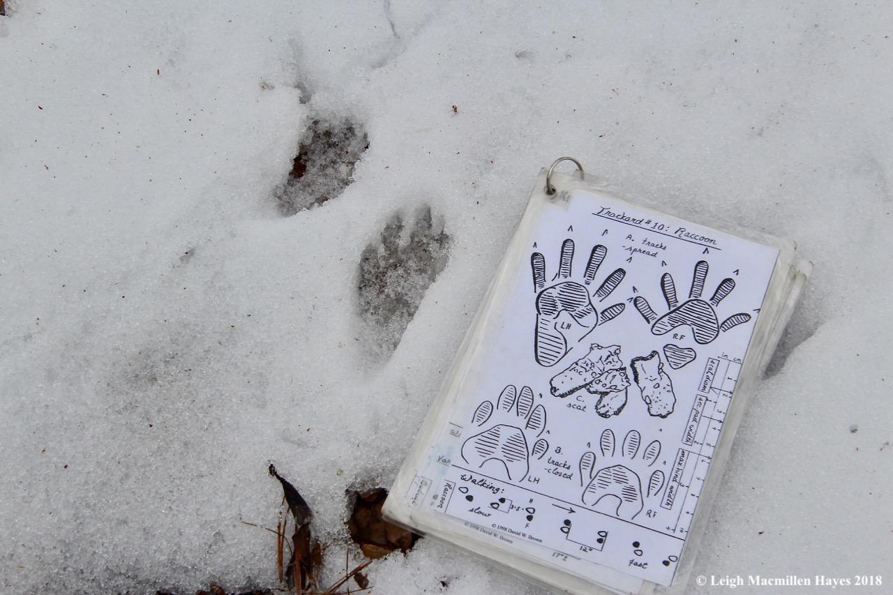 b1a-raccoon prints