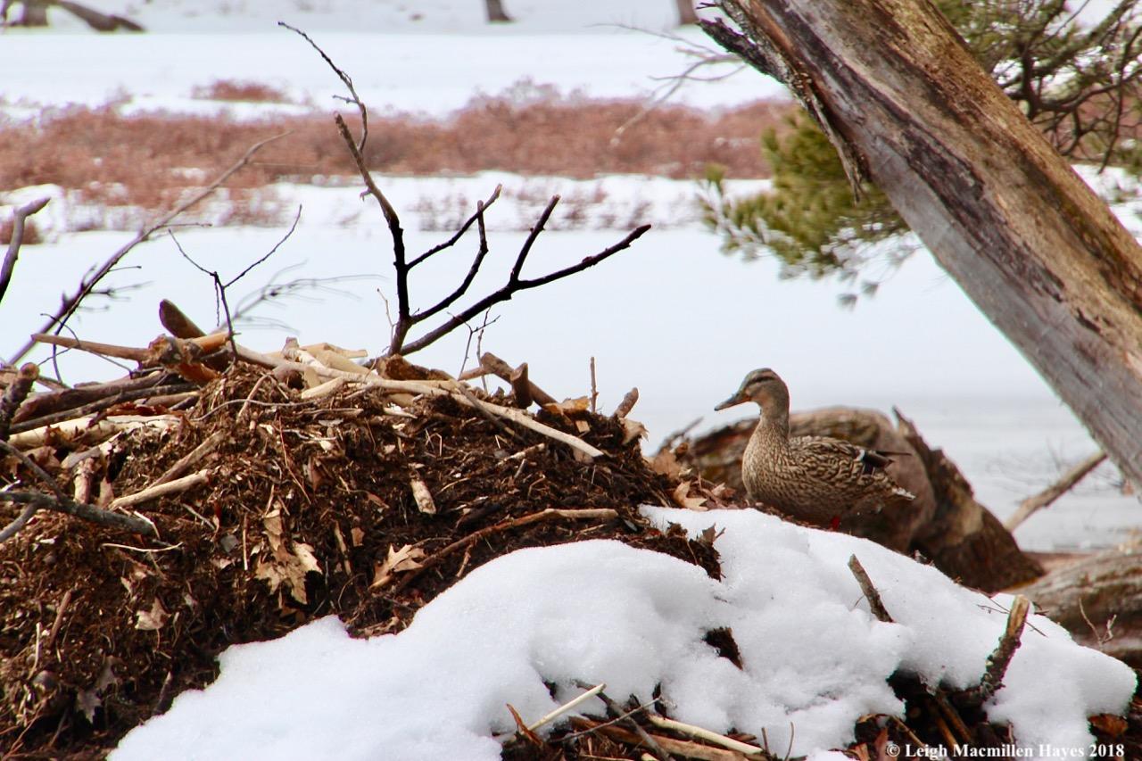 b4-duck on lodge