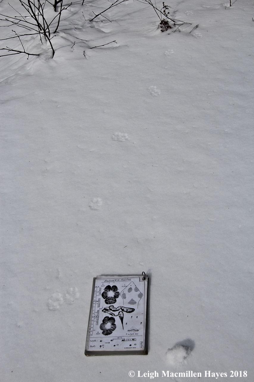 c4-red fox track