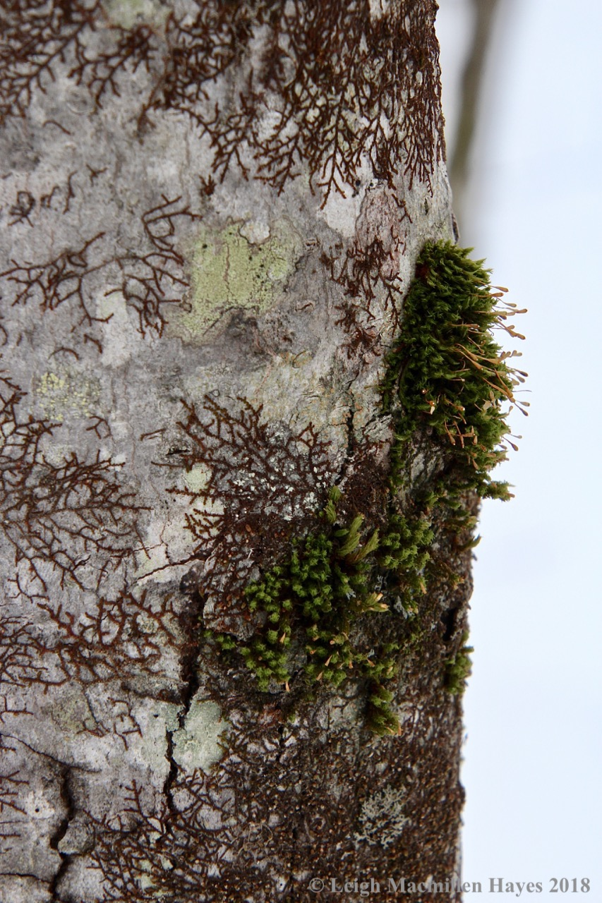 f14-ulota moss and frullania
