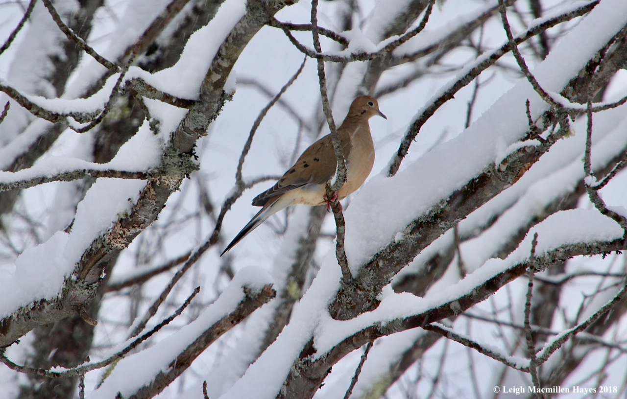 p-mourning dove