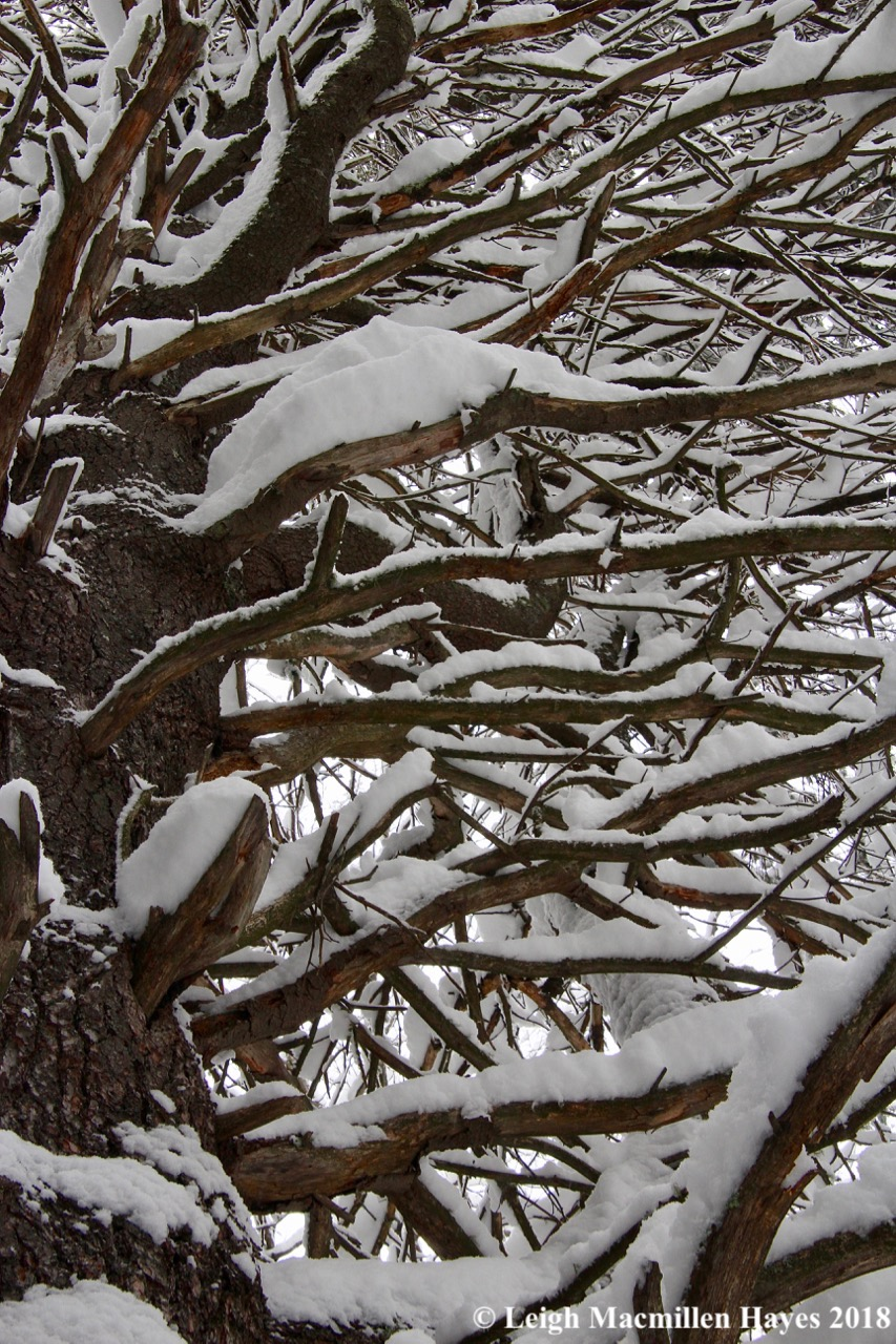 p-snow on limbs
