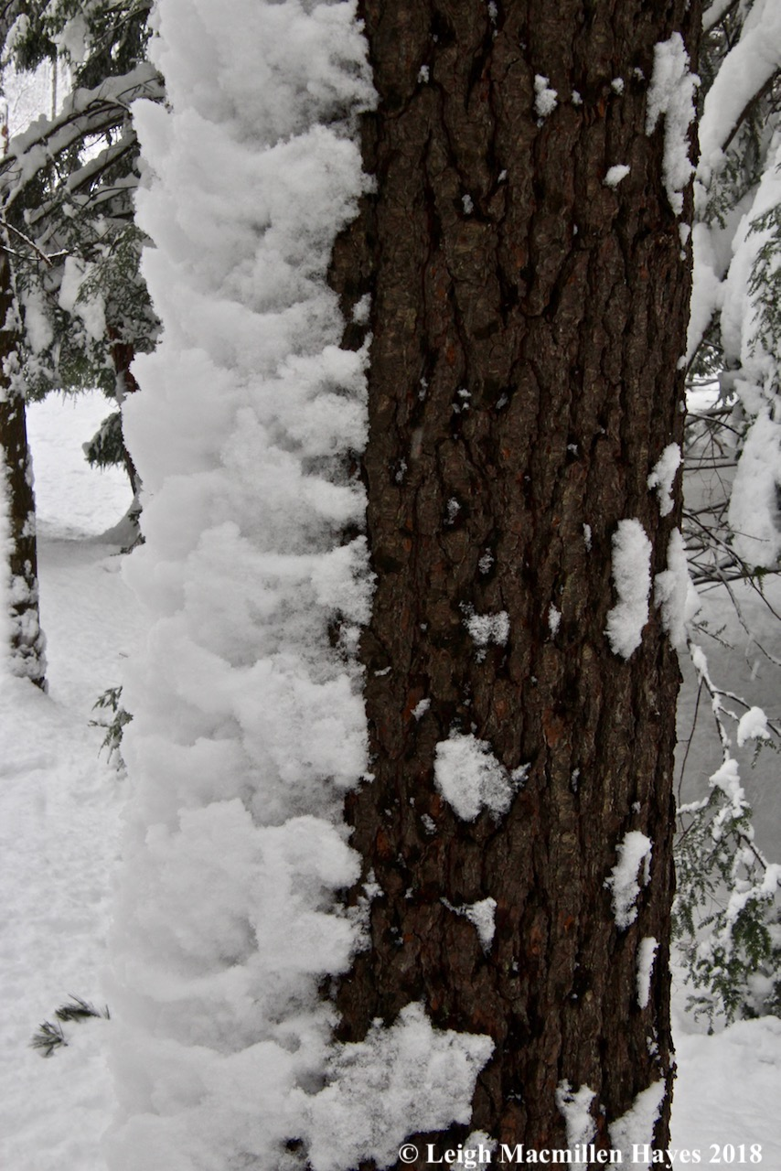 p-snow on tree trunk 2