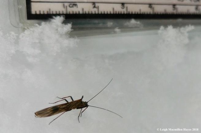 p-winter stonefly