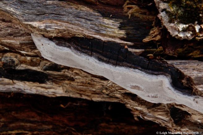 p10-false hoof fungus