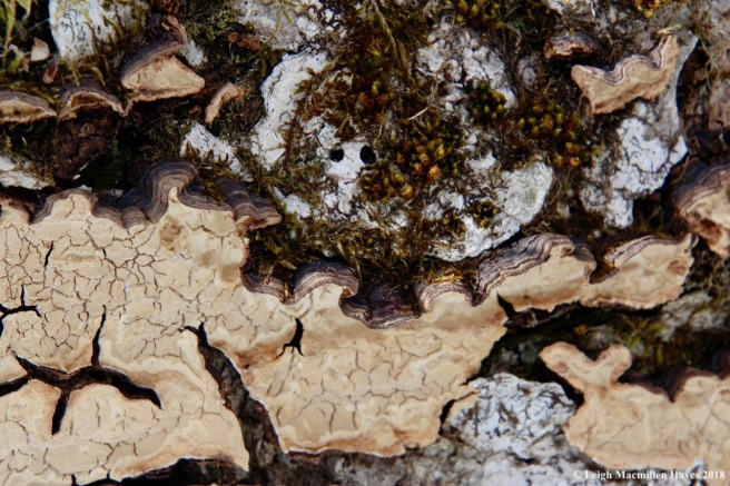 p12-hairy curtain crust fungus 2