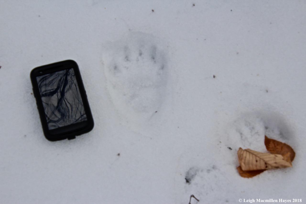 p26-bear prints