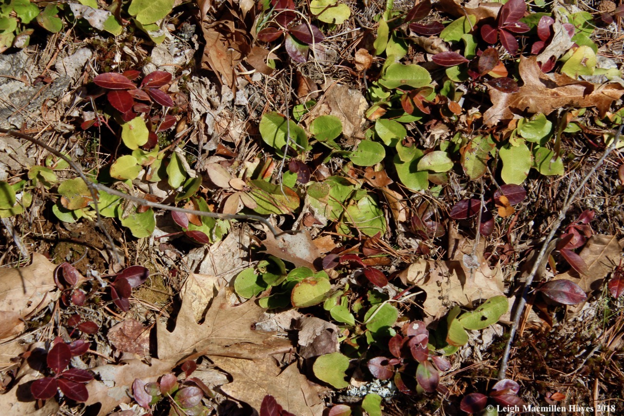 p7-trailing arbutus and wintergreen
