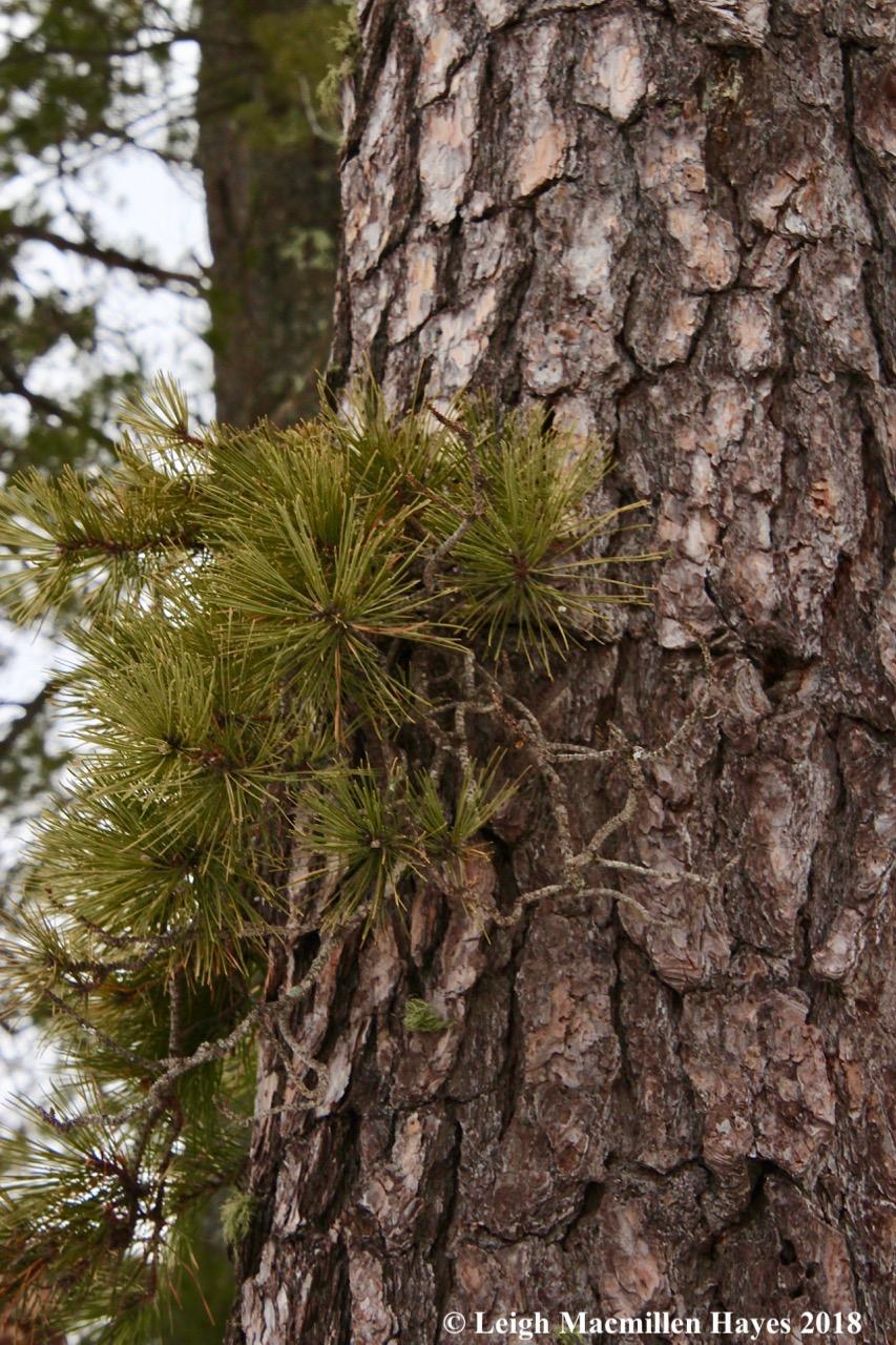 s7-pitch pine