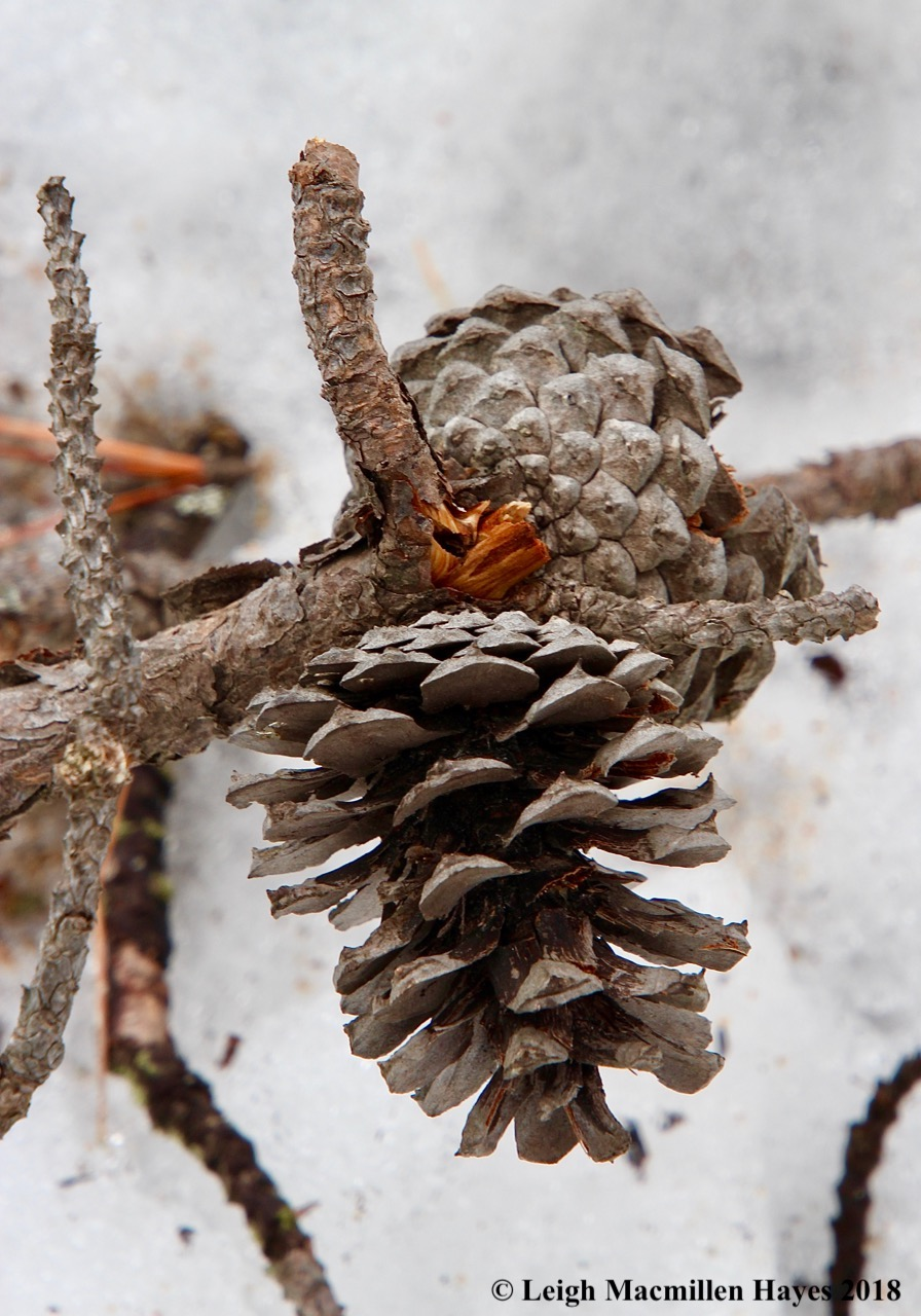 s8-pitch pine cone