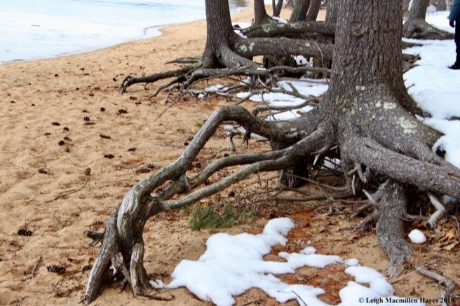 s9-tree roots
