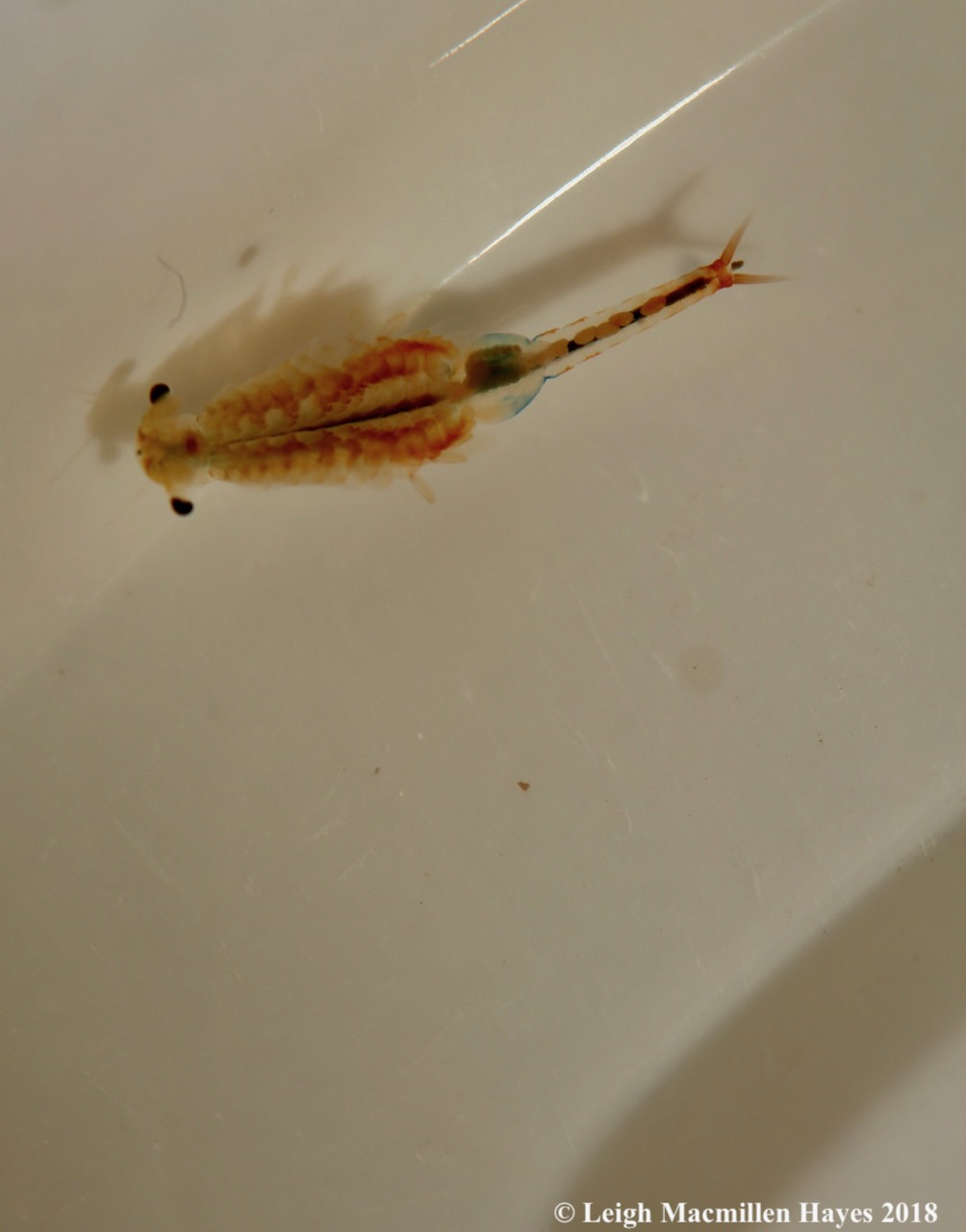 w-fairy shrimp