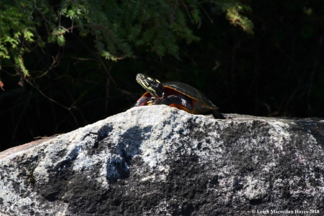 w-painted turtle