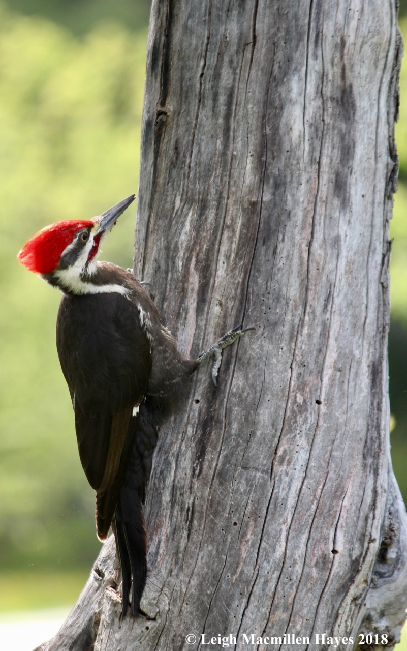 w-pileated woodpecker