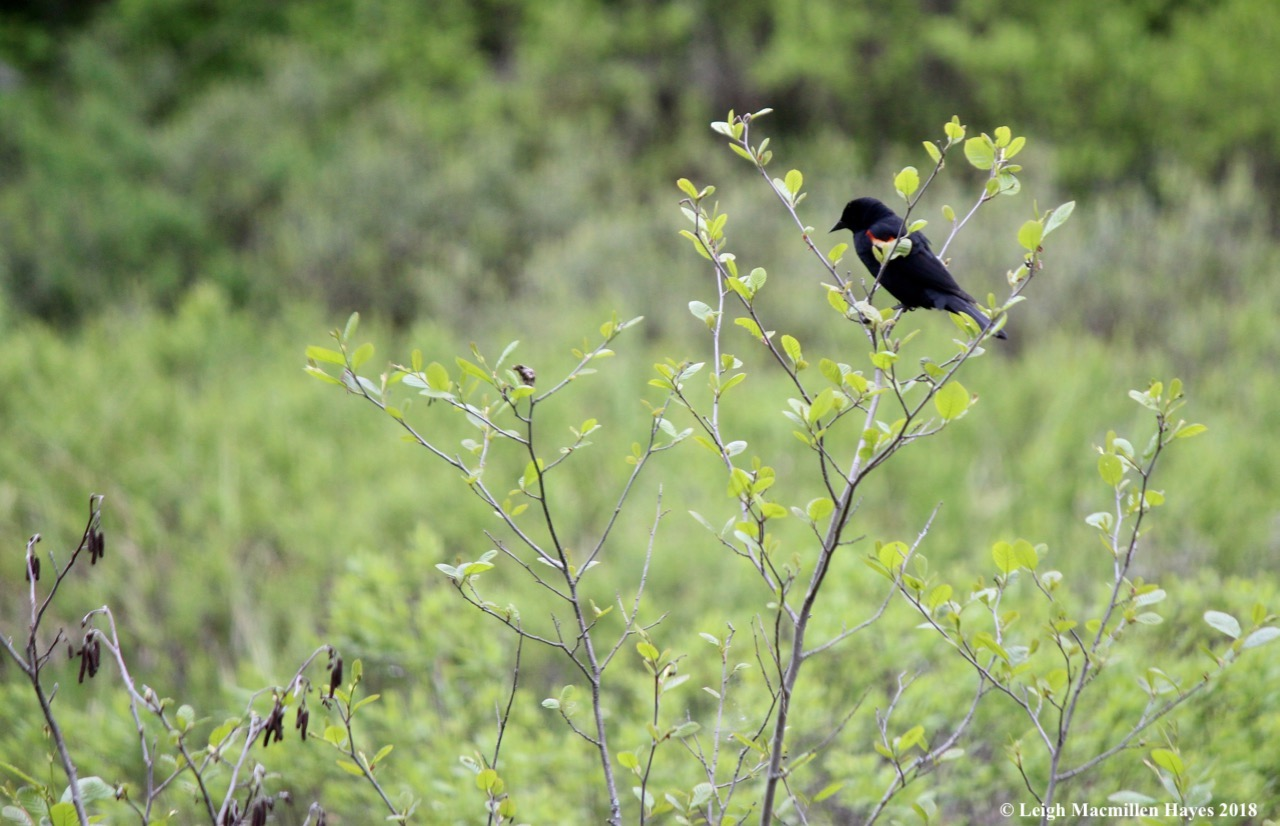 w-Red-winged Blackbird