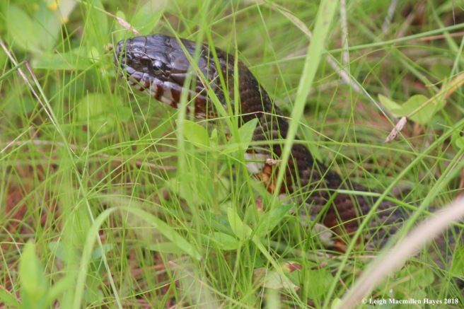 w-water snake 1