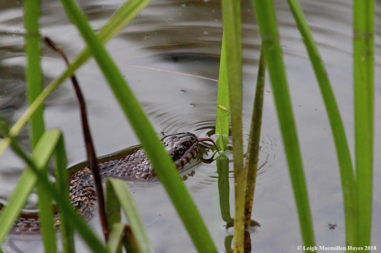 w-water snake 2