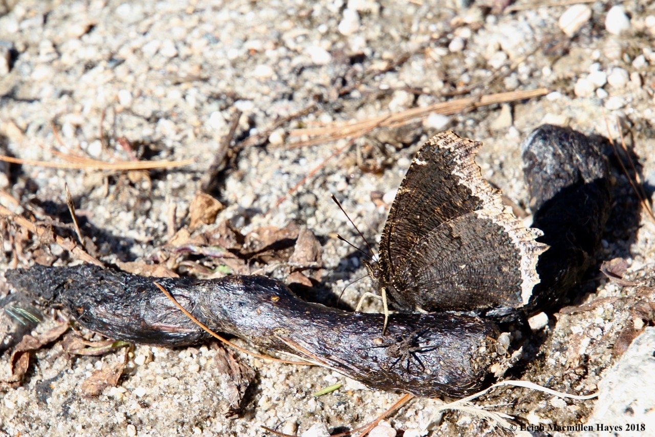 e23-Mourning Cloak butterfly