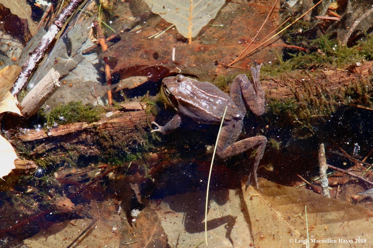 e8-wood frog 1a