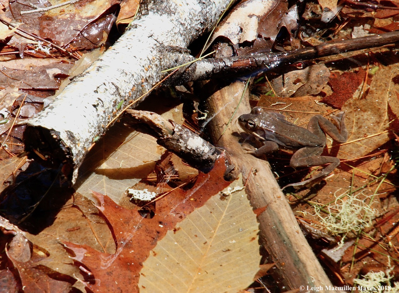 e9a--wood frog 3