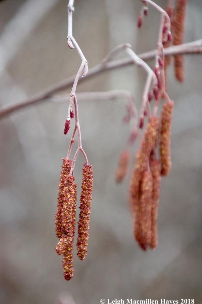 f10-speckled alder catkins