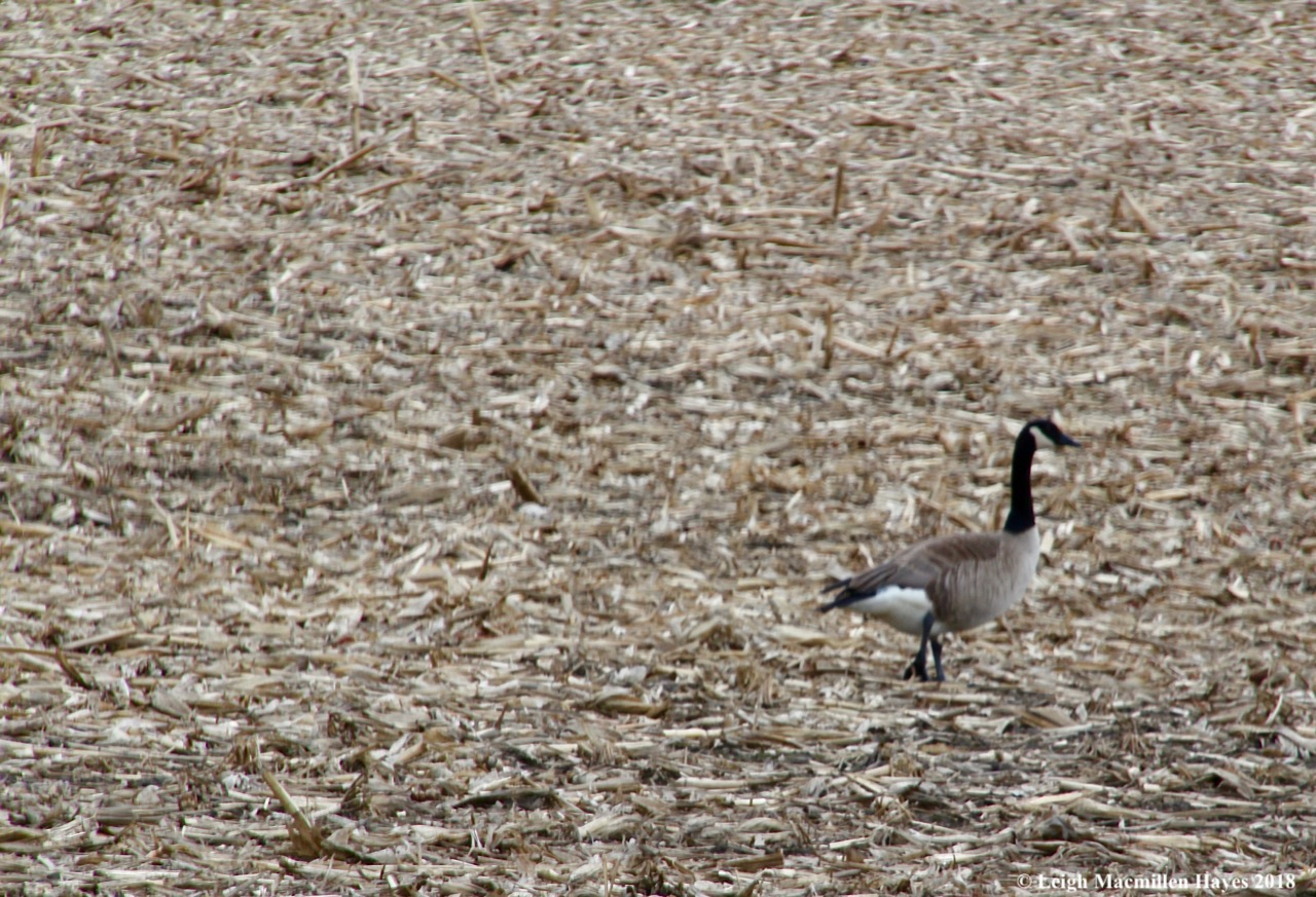 f16-Canada geese