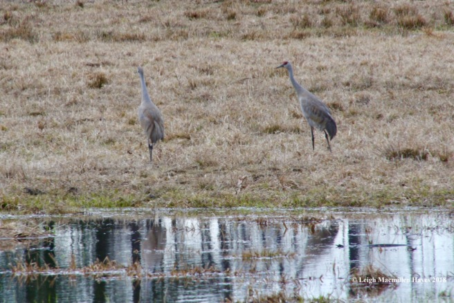 f17-sandhill cranes
