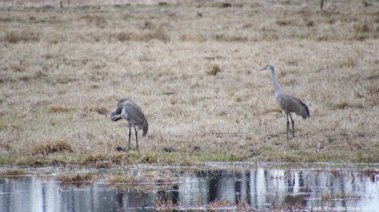 f17a--sandhil cranes