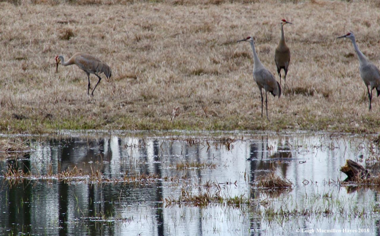 f18-sandhill cranes