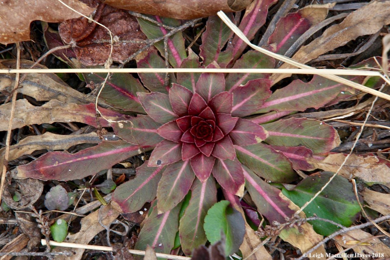 f3-evening primrose basal rosette