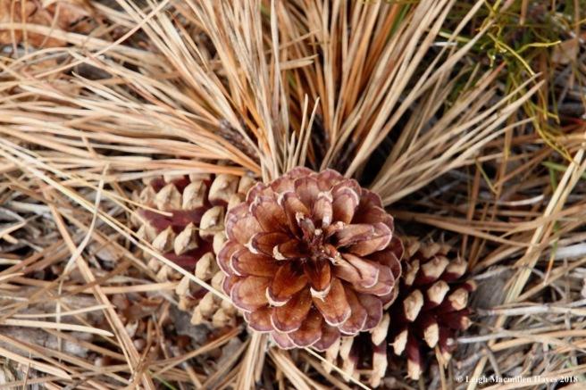 f4-pitch pine cone