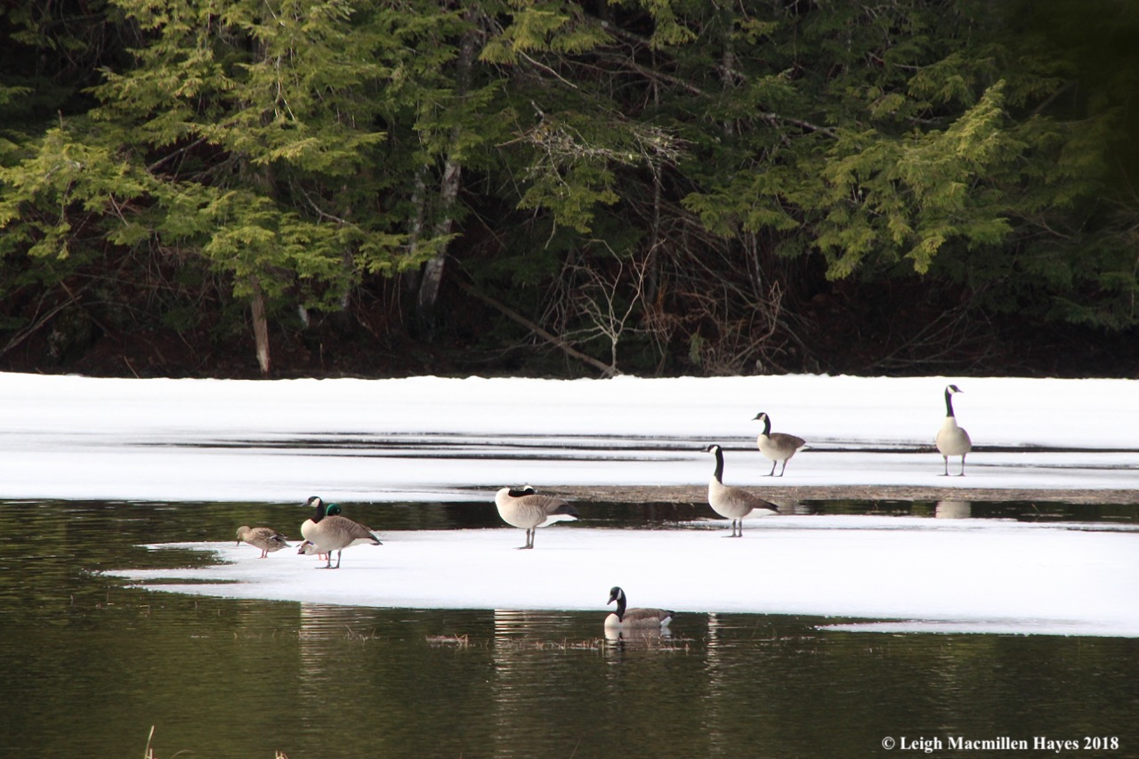m4-Canada Geese