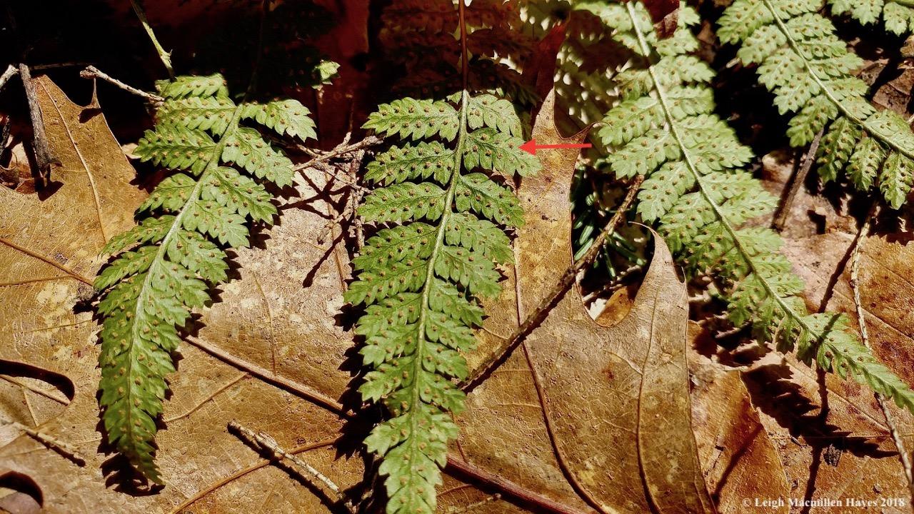 m6a-evergreen wood fern