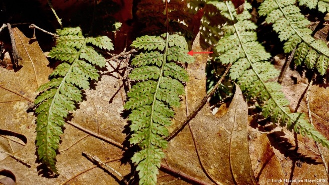 m6a-evergreen wood fern