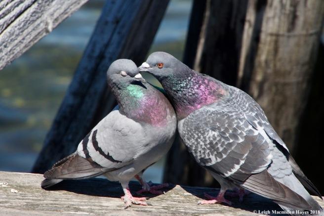 o17-pigeons