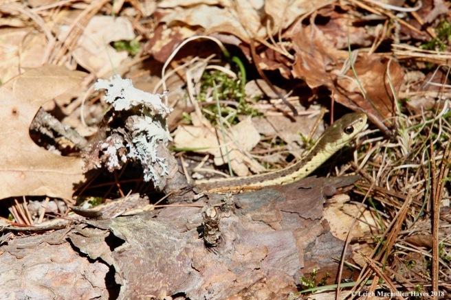 o7-garter snake