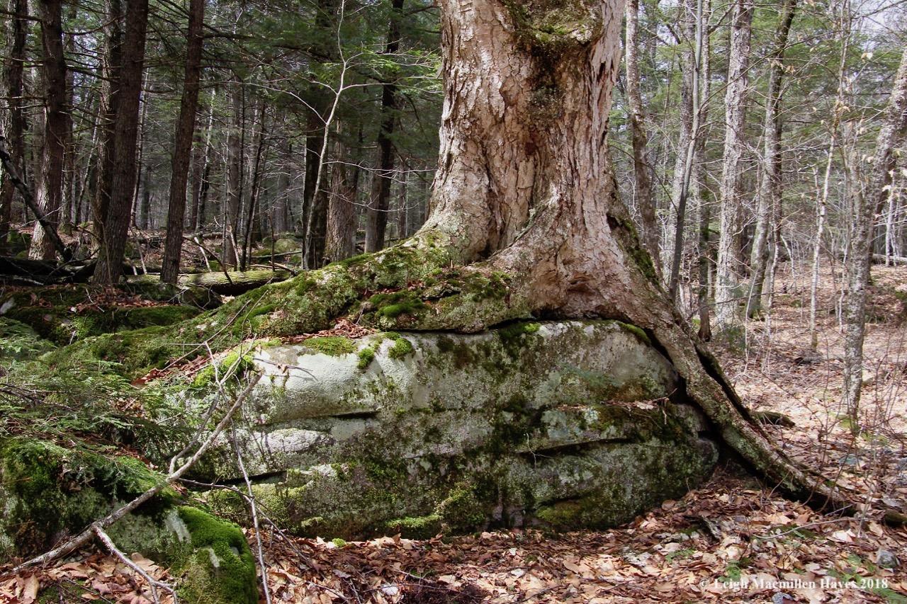 p6-yellow birch