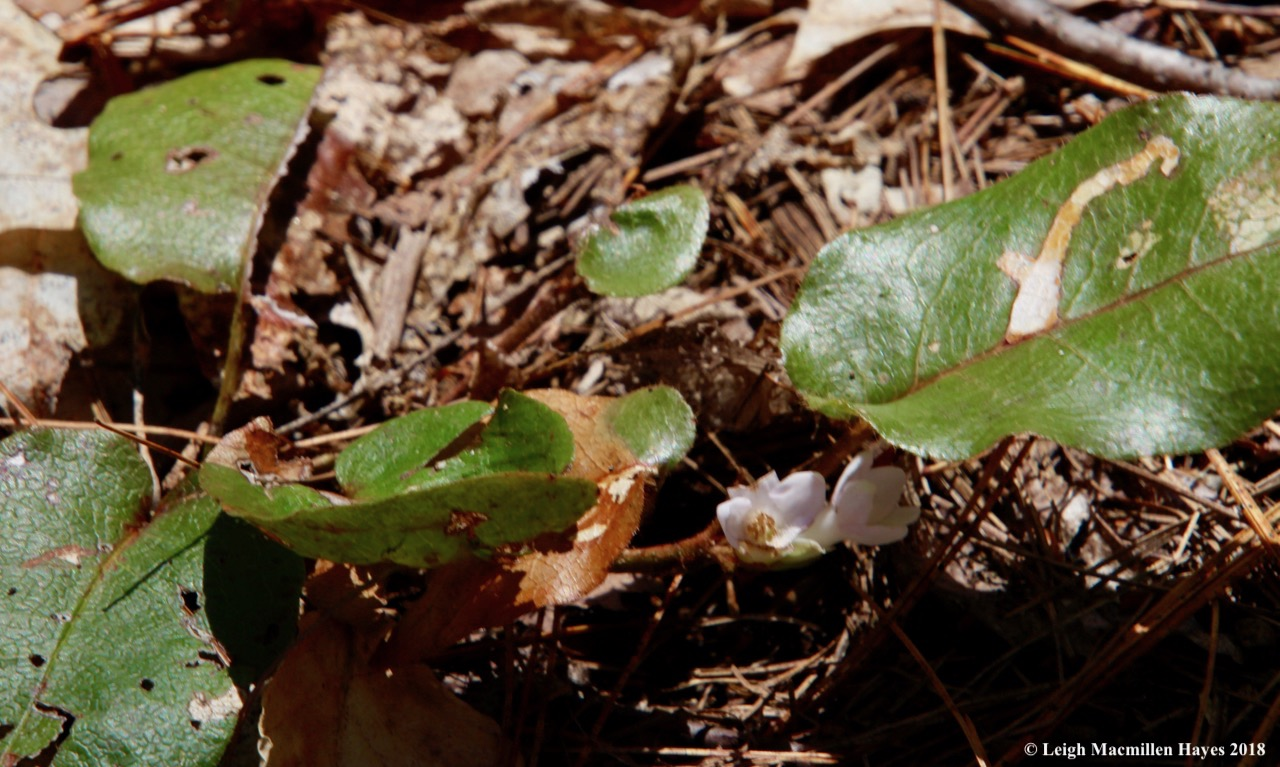 m10-Trailing Arbutus--May flower