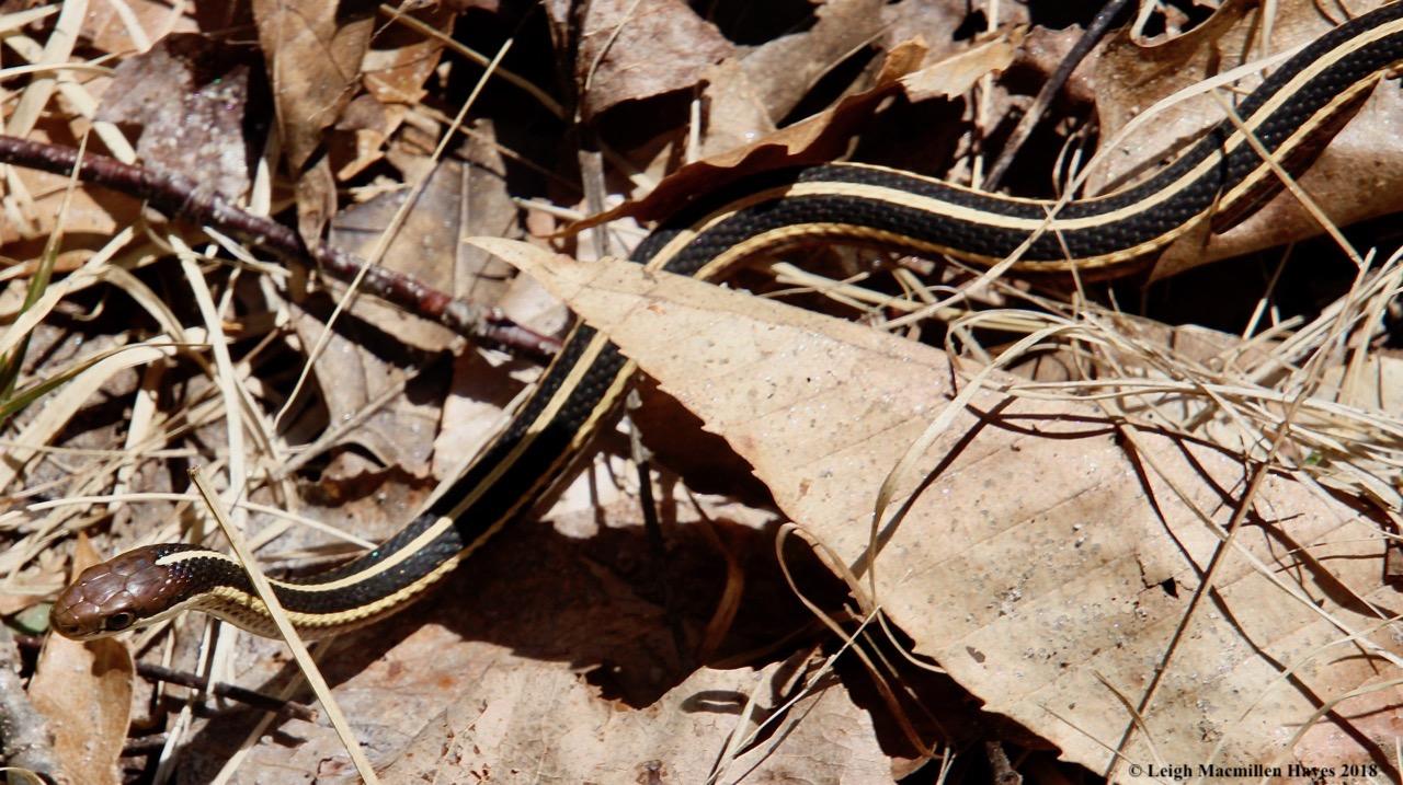 m11-ribbon snake 1