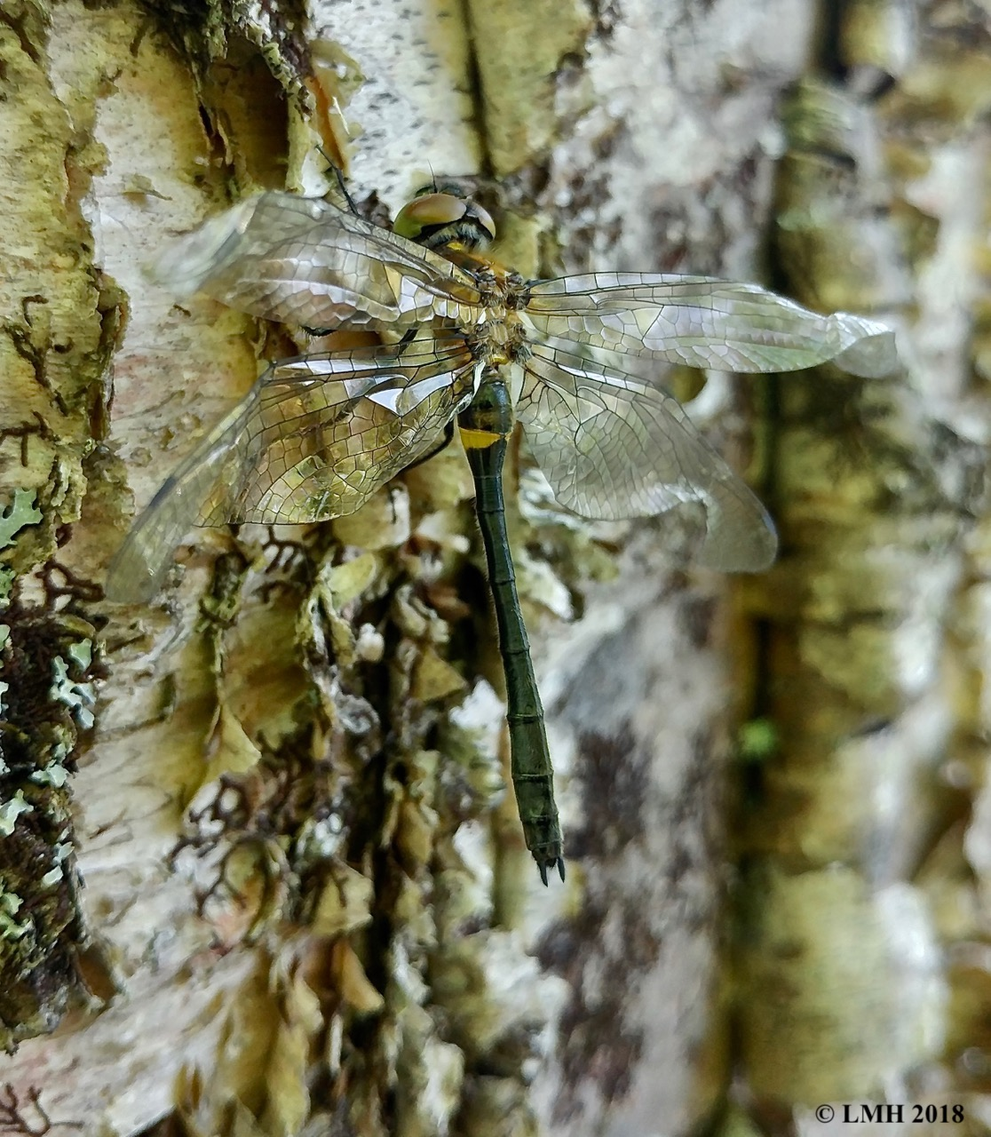 m19-immature KENNEDY'S EMERALD