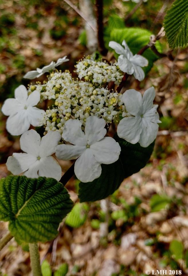 S12-HOBBLEBUSH FLOWERS