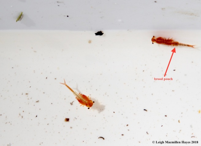 s14-female fairy shrimp